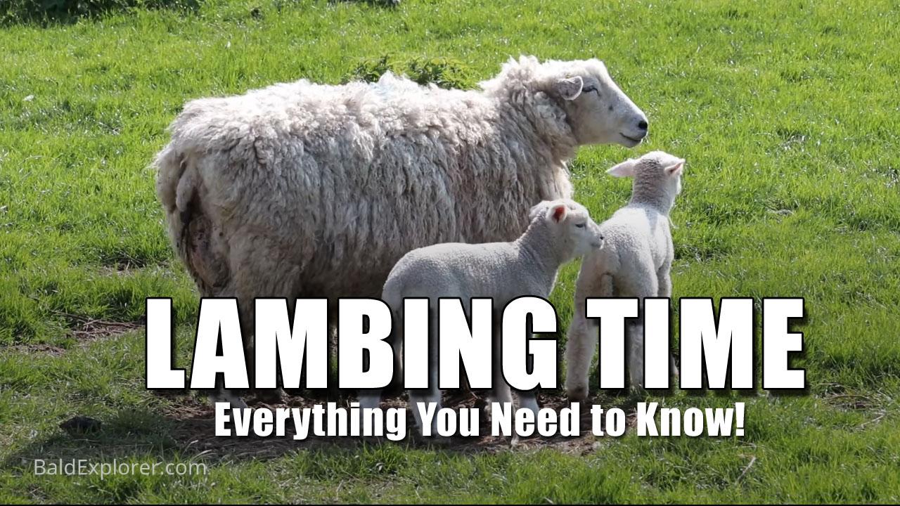 It is Lambing Time in Biddenden, Kent