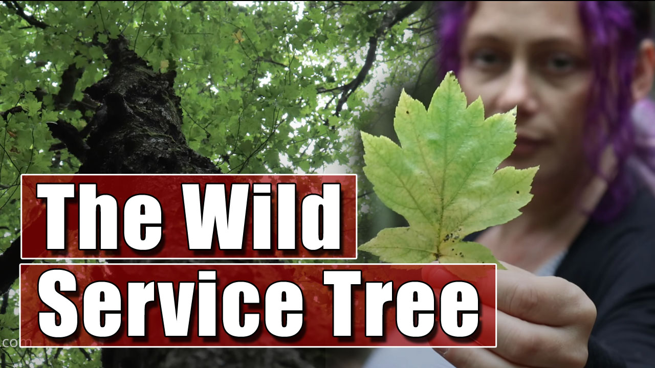 Tree Identification - In Search of the Wild Service Tree